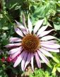 Rudbekia ružová (Echinacea)