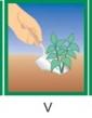 Astra nízka Prúhonický trpaslík - biela