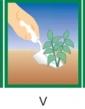 Astra nízka chryzantémokvetá zmes