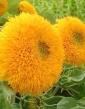 Slnečnica okrasná plná žltá Polan