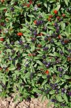 Paprika okrasná zmes Chilli MIX - 100 mg