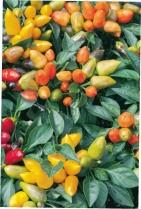 Chilli paprika ORANETA - 15 ks