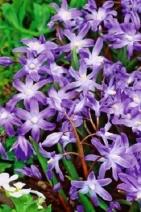 Chiondoxa (Scila) Violet Beauty